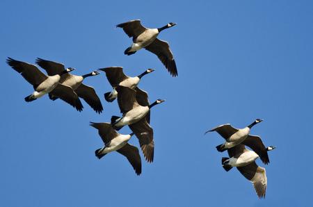 青い空を飛んでいるカナダのガチョウの群れ
