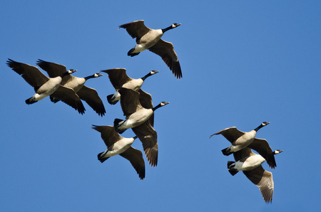animal  bird: Flock of Canada Geese Flying in a Blue Sky