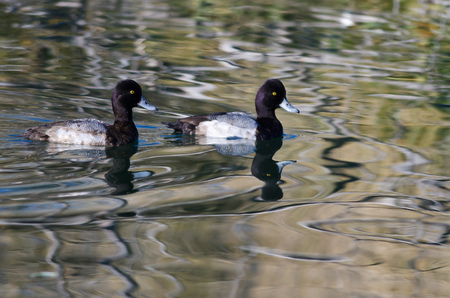 scaup: Two Male Scaup Ducks Swimming in the Still Pond Waters