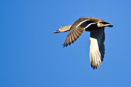 female mallard duck: Female Mallard Duck Flying in a Blue Sky Stock Photo