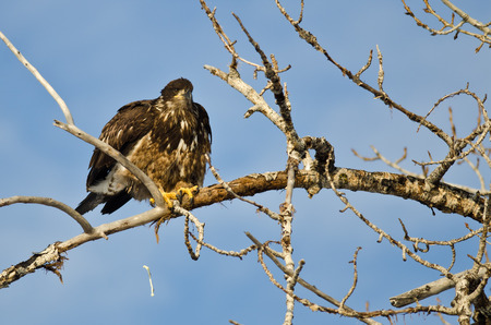 pooping: Young Bald Eagle Pooping From High in a Tree