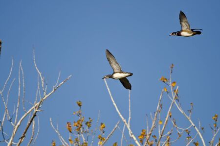 crested duck: Pair of Wood Ducks Flying Low Over the Wetlands