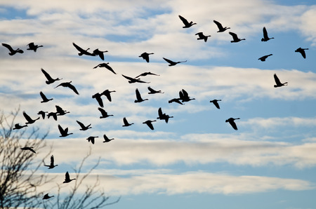 flying bird: Large Flock of Geese Silhouetted in the Cloudy Sky Stock Photo