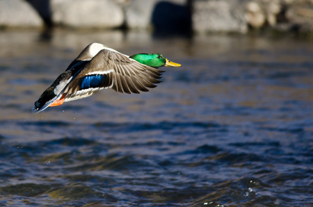 Mallard Duck Flying Low Over the River Stock Photo