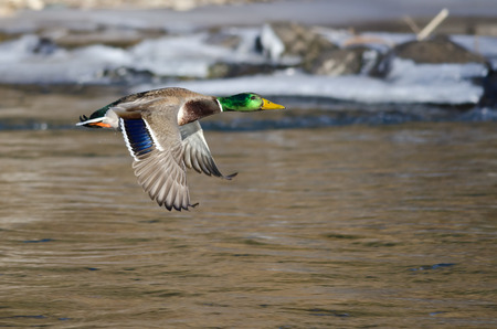 Mallard Duck Flying Over the Frozen Winter River