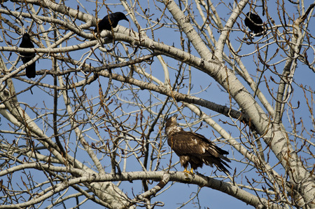 crow: Young Bald Eagle Being Harassed by American Crows