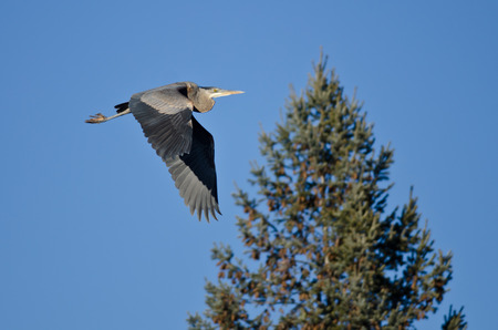 gray herons: Great Blue Heron Flying Past an Evergreen Tree