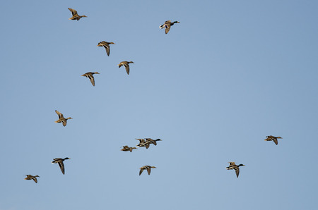 Flock of Mallard Ducks Flying in a Blue Sky Stock Photo
