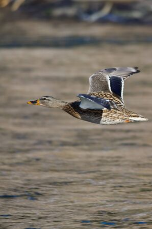 pato real: Mallard Duck Flying Low Over the River Foto de archivo
