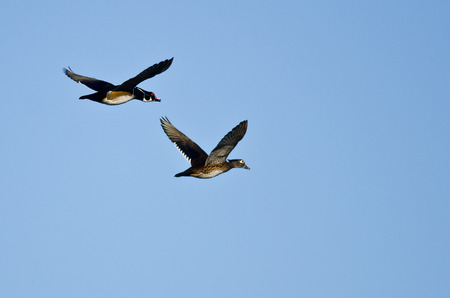 crested duck: Pair of Wood Ducks Flying in a Blue Sky Stock Photo