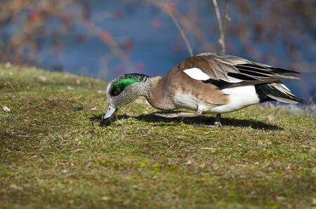 feasting: American Wigeon Feasting on the First Grass of Spring