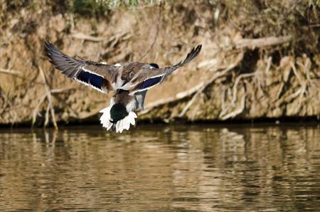 mallard duck: Mallard Duck Coming in for a Landing on the Water