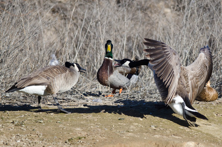 call of nature: Canada Geese Arguing as Mallard Duck Looks On Stock Photo
