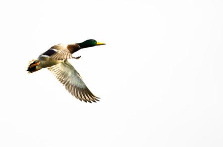 mallard duck: Mallard Duck Flying Against a White Background Stock Photo