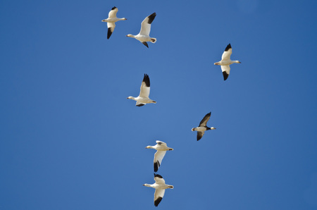 bidirectional: Bi-Directional Snow Geese in Need of a Good Air Traffic Controller