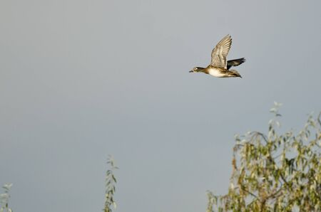 crested duck: Female Wood Duck Flying Low Over the Wetlands