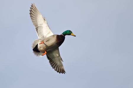 mallard duck: Male Mallard Duck Flying in a Pale Blue Sky
