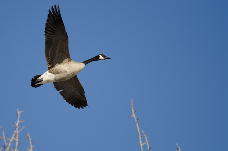 canada goose: Canada Goose Flying Low Over the Winter Trees Stock Photo
