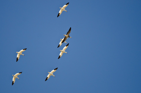 ocas: Blue Goose Flying with the White Snow Geese in a Clear Sky Foto de archivo