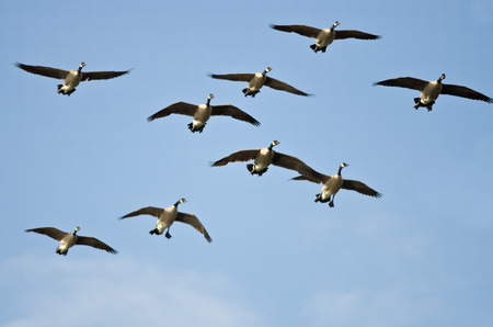 flying bird: Flock of Canada Geese Flying in a Blue Sky