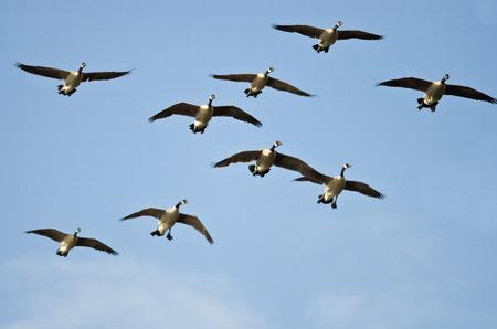 ocas: Multitud de los gansos de Canad� volando en un cielo azul Foto de archivo