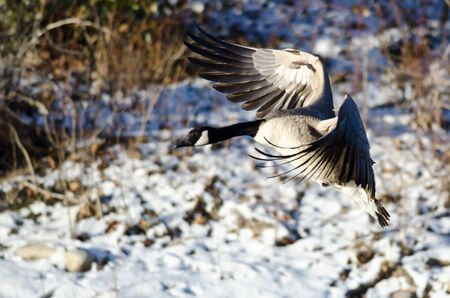 canada goose: Canada Goose Landing on the Snowy Winter River