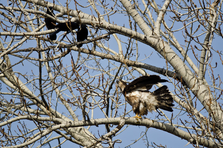 bothered: Young Bald Eagle Being Harassed by American Crows