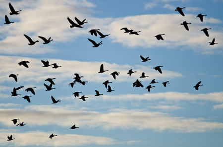 Large Flock of Geese Silhouetted in the Cloudy Sky Stock Photo