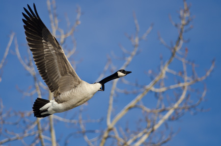 canada goose: Canada Goose Flying in a Blue Sky