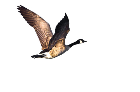 Canada Goose Flying on a White Background Banco de Imagens