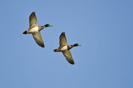Synchronized Flying Demonstrated by Two Mallard Ducks