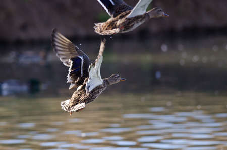 Mallard Duck Taking to Flight From the Water