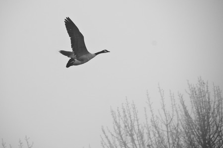 canada goose: Canada Goose Flying Silently in the Morning Fog Stock Photo