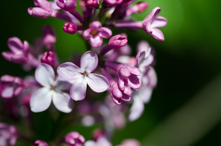 early blossoms: Delicate Lilac Blossoms Blooming in Early Spring
