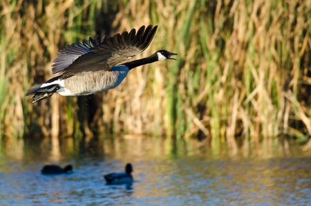 canada goose: Canada Goose Flying Low Over the Water Stock Photo