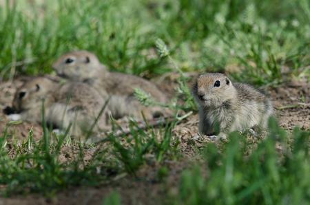 clustered: Family of Little Ground Squirrels Clustered Around Their Hole