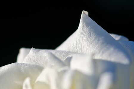 folds: Nature Abstract: Lost in the Gentle Folds of the Delicate White Rose