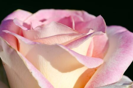 folds: Lost in the Gentle Folds of the Delicate Rose Stock Photo