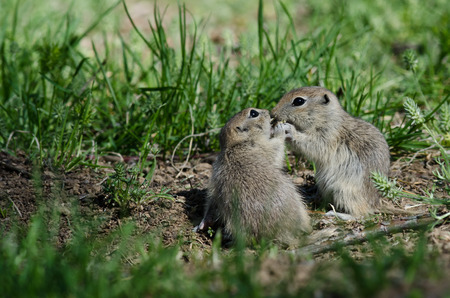 smooch: Two Cute Ground Squirrels Sharing a Little Kiss Stock Photo