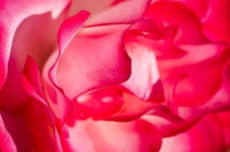 folds: Nature Abstract: Lost in the Gentle Folds of the Delicate Rose