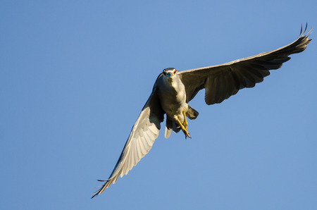 eye contact: Black-Crowned Night-Heron Making Direct Eye Contact While Flying in a Blue Sky