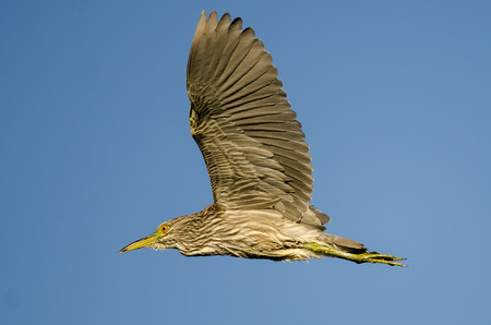 immature: Immature Black-Crowned Night-Heron Flying in a Blue Sky Stock Photo