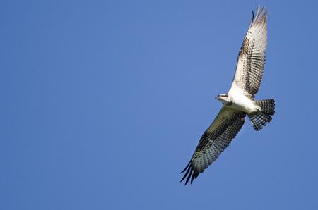 Osprey Flying in a Blue Sky