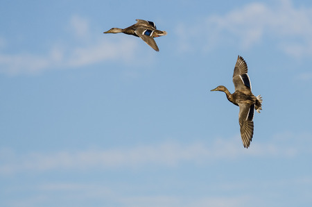 Two Mallard Ducks Flying in a Blue Sky