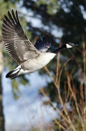 canada goose: Canada Goose Flying Low Over the Wetlands
