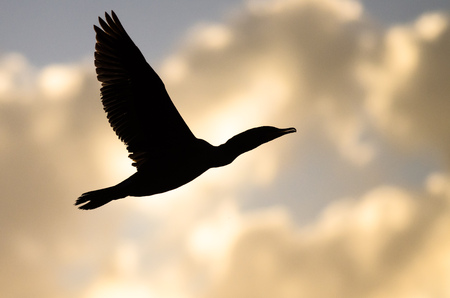 Double-Crested Cormorant Silhouetted in the Sunset Sky As It Flies Banco de Imagens