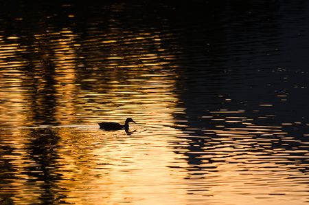 yelloow: Silhouette of Duck Swimming in a Golden Pond as the Sun Sets