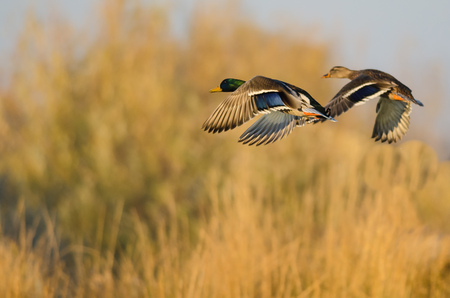 Mallard Ducks Flying Over the Autumn Countryside