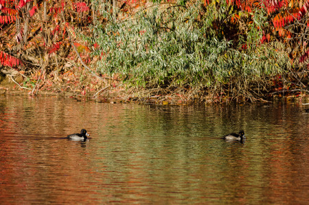 Ring-Necked Ducks Resting on an Autumn Pond Stock Photo