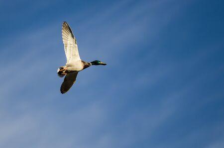 mallard duck: Mallard Duck Flying in a Blue Sky Stock Photo